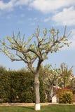 Vanilla tree Royalty Free Stock Photography