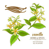 Vanilla vector set. Vanilla flowers vector set on white background Royalty Free Stock Images