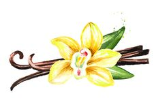 Vanilla yellow flower, pods and leaves. Watercolor hand drawn illustration, isolated on white background.  vector illustration
