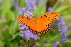 Vanillae d'Agraulis de papillon de fritillaire de Golfe Photos stock