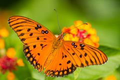 1758 vanillae linnaeus залива fritillary бабочки agraulis Стоковое фото RF
