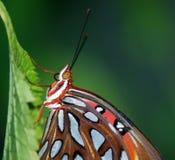 1758 vanillae linnaeus залива fritillary бабочки agraulis Стоковое Изображение RF