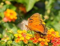 1758 vanillae linnaeus залива fritillary бабочки agraulis Стоковые Изображения