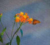 1758 vanillae linnaeus залива fritillary бабочки agraulis Стоковая Фотография RF