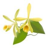 Vanille-Orchidee (Vanille planifolia) Lizenzfreie Stockfotos