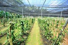 Vanille planifolia Andrews stockfoto