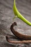 Vanille Planifolia et cosses sèches de vanille images libres de droits