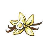 Vanillebloem en peulen Vector illustratie Stock Foto