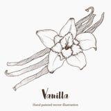 Vanillegewürzblume, Superlebensmittel des organischen Aromas Handzeichnungsskizzen-Vektorillustration Lizenzfreie Stockbilder