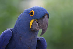 Vanishing. Closeup of a critically endangered Hyacinth Macaw.  The largest Macaw, they are a stunning cobalt blue and are disappearing before our eyes Stock Image