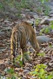 Vanishing tiger Stock Image