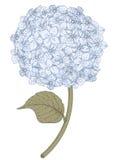 vanlig hortensia vektor illustrationer