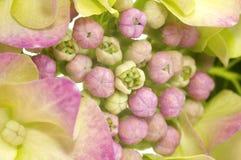 vanlig hortensia Royaltyfri Bild