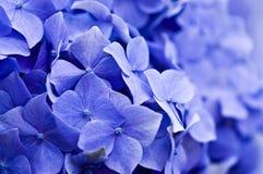 vanlig hortensia Royaltyfria Bilder