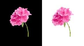 vanlig hortensia Arkivbilder