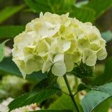 Vanlig hortensia Arkivfoto