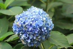 vanlig hortensia Arkivbild
