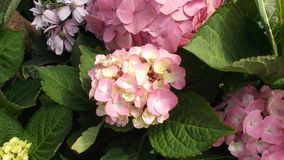 Vanlig hortensia eller Hortensia Royaltyfri Foto