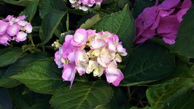 Vanlig hortensia eller Hortensia Royaltyfria Foton
