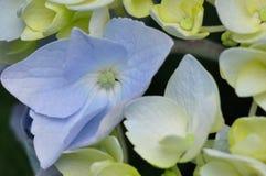 Vanlig hortensia eller Hortensia Arkivfoton