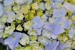 Vanlig hortensia eller Hortensia Royaltyfri Bild