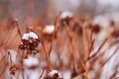 Vanlig hortensia- eller Hortensiabusken med blommor på växten täckte vid insnöat trädgården i vinter royaltyfri fotografi
