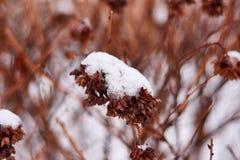 Vanlig hortensia- eller Hortensiabusken med blommor på växten täckte vid insnöat trädgården i vinter arkivbilder