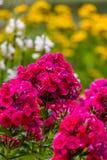Vanlig hortensia eller röd blomma för hortensia Fotografering för Bildbyråer
