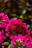 Vanlig hortensia eller röd blomma för hortensia Arkivbilder