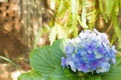 Vanlig hortensia en naturlig bukett av blåa blommor Hortência i portugisiskt arkivfoto