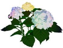 Vanlig hortensia för blomningbukettlila Arkivbilder
