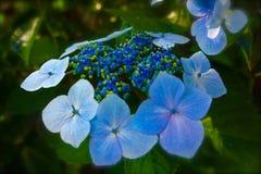 vanlig hortensia för det blåa locket snör åt Royaltyfria Foton