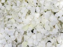 Vanlig hortensia för vita blommor Arkivbilder