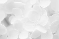 Vanlig hortensia, Hortensia som, är suddiga för bakgrund eller mall Arkivfoto