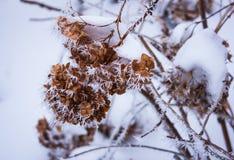 Vanlig hortensia i den torra vanliga hortensian för frost Vinter Fotografering för Bildbyråer