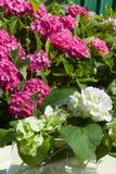 Vanlig hortensia i hink Royaltyfria Foton