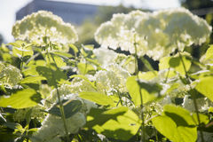 Vanlig hortensia i solen Arkivbild