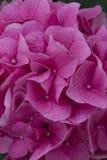Vanlig hortensia i trädgården Royaltyfri Fotografi
