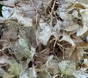 Vanlig hortensia i vintertid royaltyfri bild
