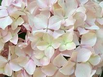vanlig hortensia iii Royaltyfria Foton