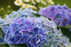 Vanlig hortensia med asteraceaen royaltyfri foto