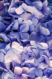 Vanlig hortensia med blåa kronblad i Oban, Förenade kungariket Vanlig hortensiablommablomning Flora och natur naturlig skönhet bl arkivfoto