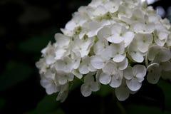 Vanlig hortensia på blom för sen sommar royaltyfria bilder