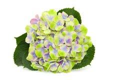 Vanlig hortensia på vit bakgrund Royaltyfria Bilder