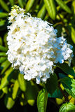 Vanlig hortensia Paniculata (Vanille Fraise) Fotografering för Bildbyråer
