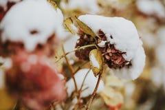 Vanlig hortensia under snön Royaltyfria Foton