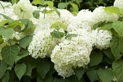Vanlig hortensiaarborescens i trädgård Fotografering för Bildbyråer