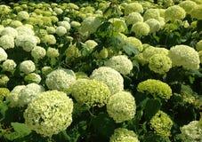 Vanlig hortensiabakgrund Royaltyfria Bilder