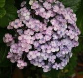 Vanlig hortensiabarnblomma Royaltyfri Fotografi