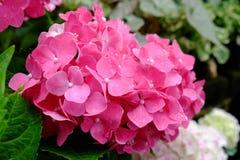 Vanlig hortensiablomma Royaltyfri Foto
